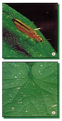 thripse gkr hydrokulturen begr nungen mietpflanzen pflanzsysteme. Black Bedroom Furniture Sets. Home Design Ideas