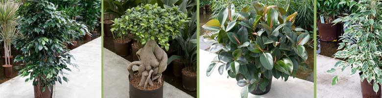Ficus Sorten bei GKR kaufen