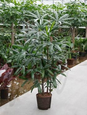 Hydrokulturpflanzen